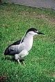 Black-crowned night heron - DPLA - b959a61127eaf0d5bef7a8b11649a238.jpg