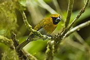 Black-faced Grosbeak - Panama H8O0281 (23184904673).jpg