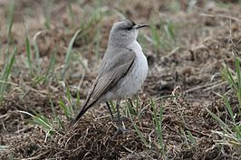 Black-fronted Ground-tyrant.jpg