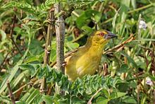 Black-headed weaver (Ploceus cucullatus bohndorffi) female.jpg