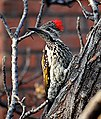 Black-rumped flameback woodpecker.jpg