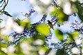 Black-throated green warbler (46954923424).jpg