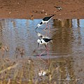 Black-winged stilt in pond near Burke River Boulia Queensland P1030916.jpg