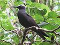 Black Noddy Tern.JPG