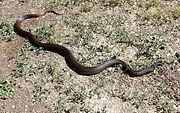 Black Pine Snake.jpg