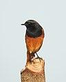 Black Redstart Phoenicurus ochruros male by Dr. Raju Kasambe DSCN1499 (3).jpg