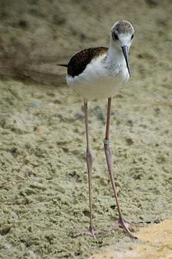 Burung Kedidi Kaki Panjang