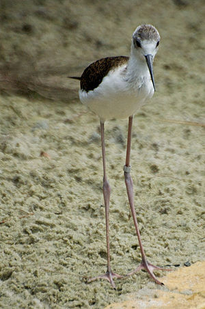 Black-winged stilt - Image: Black Winged Stilt Chick