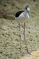 Black Winged Stilt Chick.jpg