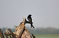 Black drongo at kaziranga.jpg