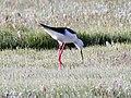Blackwinged Stilt (29813848127).jpg