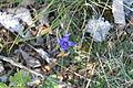 Blaue Blume Alb1.JPG