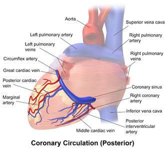Coronary sinus - Image: Blausen 0261 Coronary Vessels Posterior