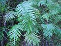 Blechnum novae-zelandiae 11.JPG