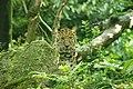 Blijdorp - Panthera pardus orientalis v2.jpg