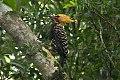 Blond-crested Woodpecker (Celeus flavescens) (8077725595).jpg