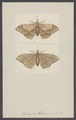 Blosyris - Print - Iconographia Zoologica - Special Collections University of Amsterdam - UBAINV0274 003 07 0027.tif