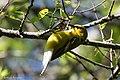 Blue-winged Warbler (male) Sabine Woods TX 2018-04-22 14-35-38 (41947588602).jpg