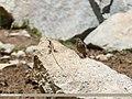 Blue Rock Thrush (Monticola solitarius) (35034923761).jpg