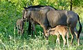 Blue Wildebeests (Connochaetes taurinus) females and youngs ... (50120233353).jpg