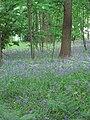 Bluebells - geograph.org.uk - 426401.jpg