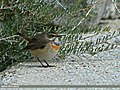 Bluethroat (Luscinia svecica) (27821035916).jpg