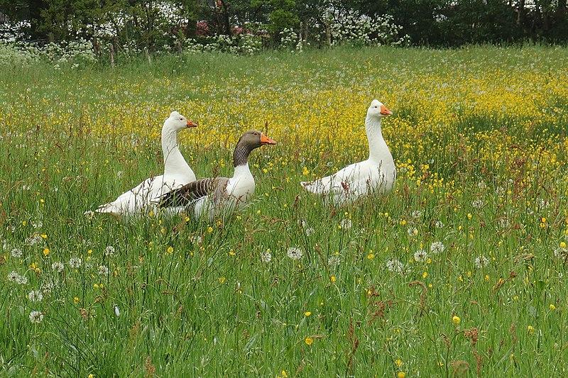 File:Boerengans Anser anser forma domesticus.JPG
