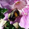 Bombus terrestris-pratorum - Flickr - gailhampshire.jpg
