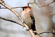 Bird ( Cedar waxwing ).jpg
