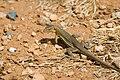 Bonaire whiptail lizard Cnemidophorus murinus ruthveni (2446955593).jpg