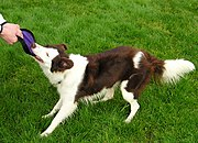 "The image ""http://upload.wikimedia.org/wikipedia/commons/thumb/a/a9/BorderCollieRed3Tug_wb.jpg/180px-BorderCollieRed3Tug_wb.jpg"" cannot be displayed, because it contains errors."