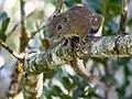 Borneo Black-banded Squirrel (13890553503).jpg