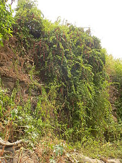 Bosea yervamora on rock wall.JPG