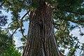 Botanischer Garten der Universität Basel - Sequoiadendron giganteum.jpg