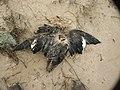 Botulism-killed White-winged Scoter (5429759334).jpg