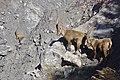 Bouquetins dans le massif de la Croix des Têtes.jpg