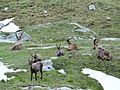 Bouquetins près du col de la Vanoise, 2014 (44).jpg