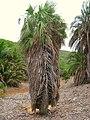 Brahea aculeata - Koko Crater Botanical Garden - IMG 2345.JPG