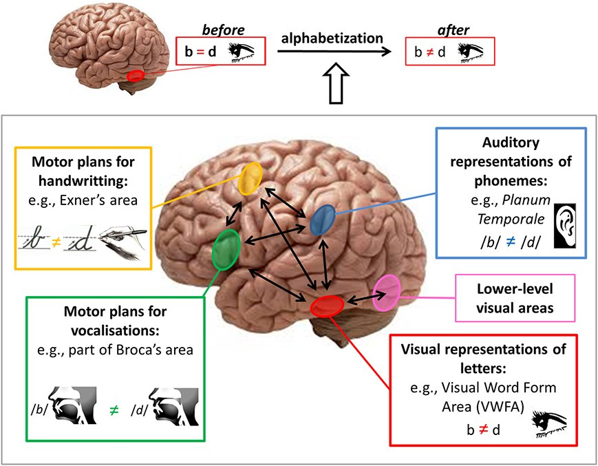 Brain pathways for mirror discrimination learning during literacy acquisition