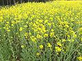 Brassica rapa subsp. oleifera, bladkool (10).jpg