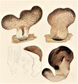 Bresadola - Tremellodon glutinosum f. flava.png
