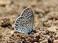 Bright babul blue from Savandurga IMG 9905.jpg