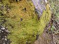 Briofitas em rocha.jpg