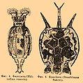 Brockhaus and Efron Encyclopedic Dictionary b30 715-2.jpg