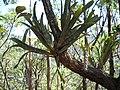 Bromélia no Anhangüera^ - panoramio.jpg