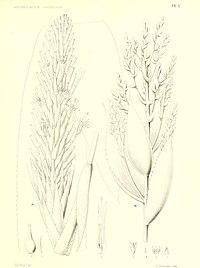 A. servitensis, höger