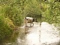 Broom, a cow in the River Axe in Devon - geograph.org.uk - 1383135.jpg