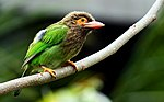 Brown-headed Barbet or Large Green Barbet (Megalaima zeylanica).JPG