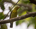 Brown-throated Sunbird (Female).jpg