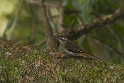 Brown-throated Treecreeper Pangolakha Wildlife Sanctuary East Sikkim India 12.12.2015.jpg